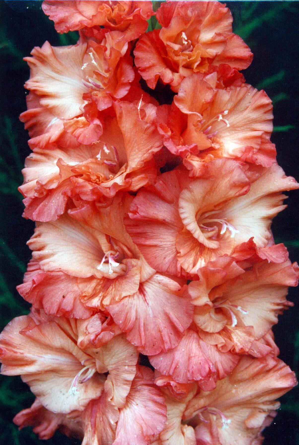 Фото цветов лилии и гладиолуса
